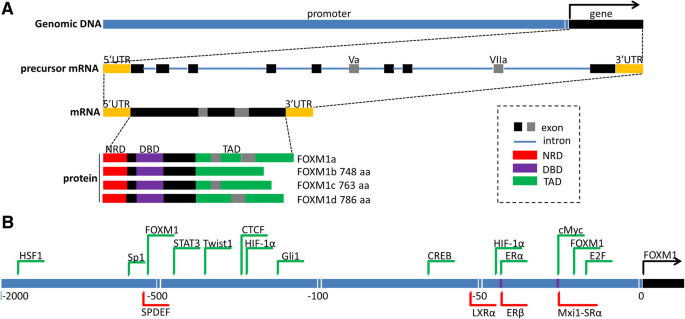 Regulation of the master regulator FOXM1 in cancer | Cell