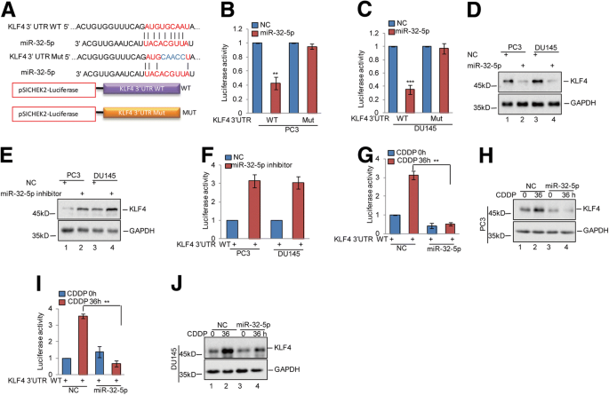 KLF4, a miR-32-5p targeted gene, promotes cisplatin-induced