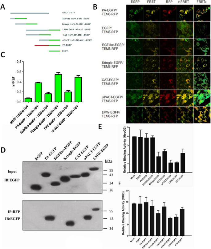 TEM8 functions as a receptor for uPA and mediates uPA-stimulated