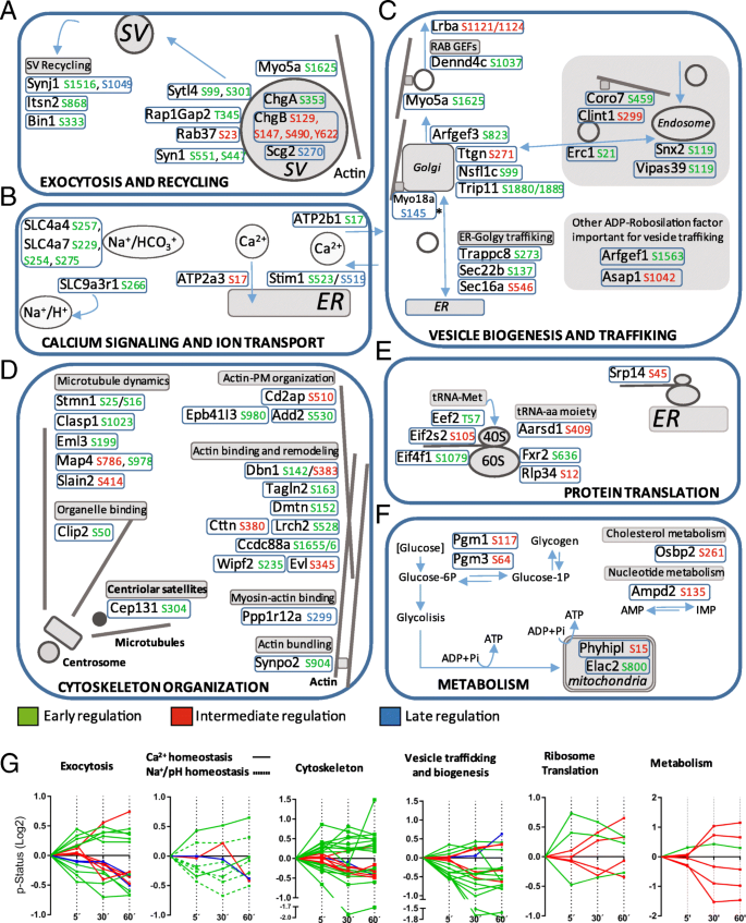 Glucose-dependent phosphorylation signaling pathways and