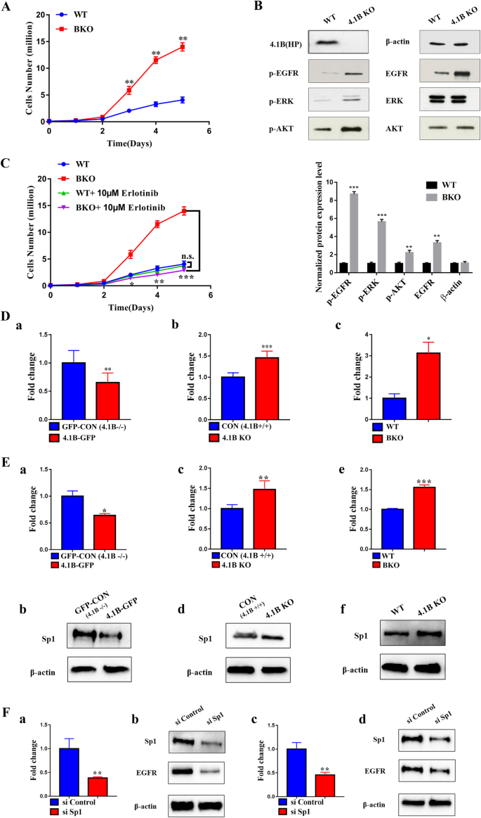 4 1B suppresses cancer cell proliferation by binding to EGFR