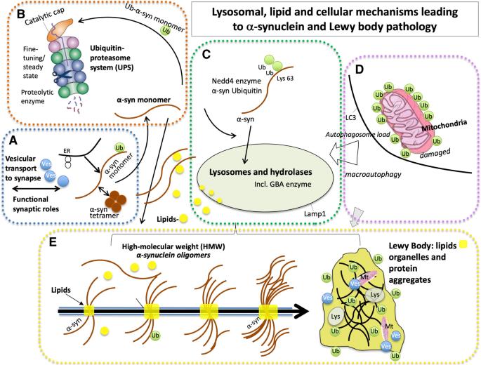 Lipid and immune abnormalities causing age-dependent