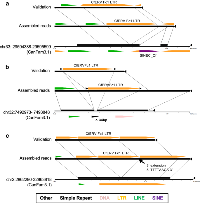 Origin and recent expansion of an endogenous gammaretroviral
