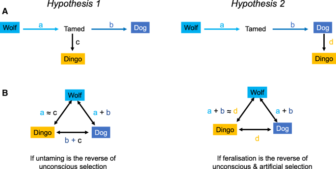 The Australian dingo: untamed or feral? | Frontiers in