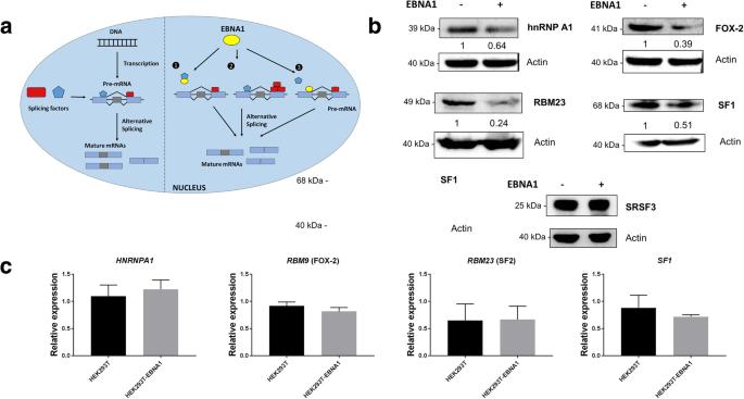 The Epstein-Barr virus EBNA1 protein modulates the