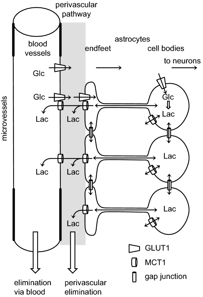 Elimination of substances from the brain parenchyma: efflux