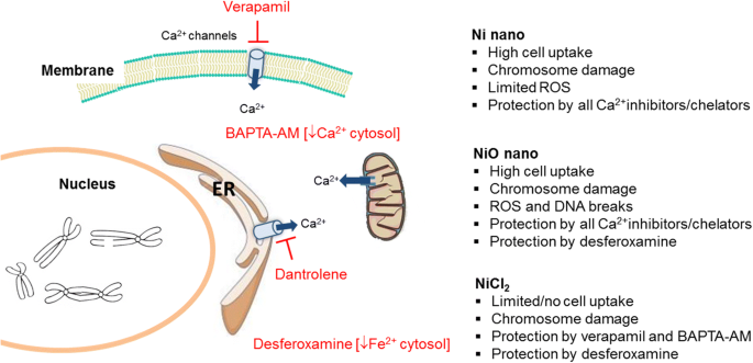 Calcium-dependent cyto- and genotoxicity of nickel metal and nickel