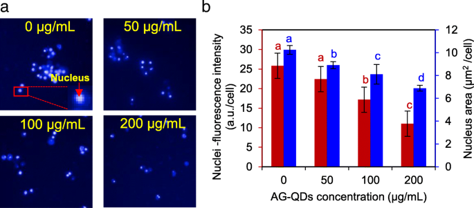 Graphene quantum dots in alveolar macrophage: uptake-exocytosis