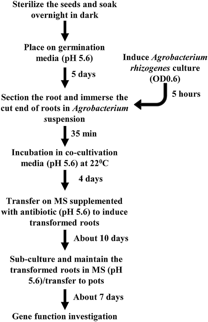 Genotype-independent Agrobacterium rhizogenes -mediated root