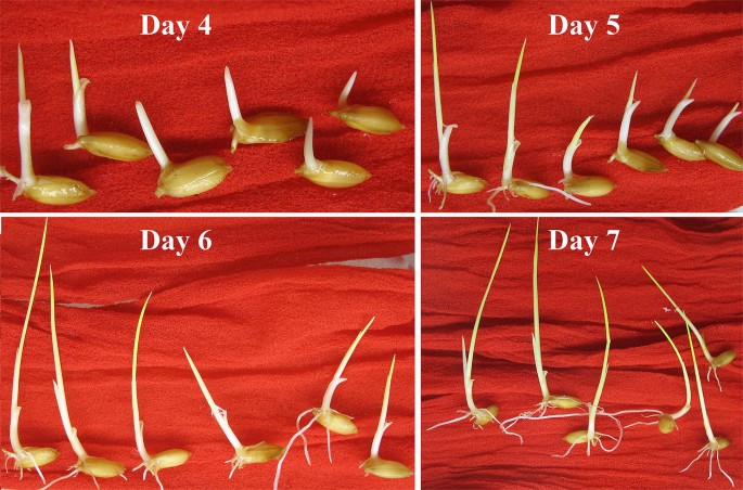 Dehiscence method: a seed-saving, quick and simple viability