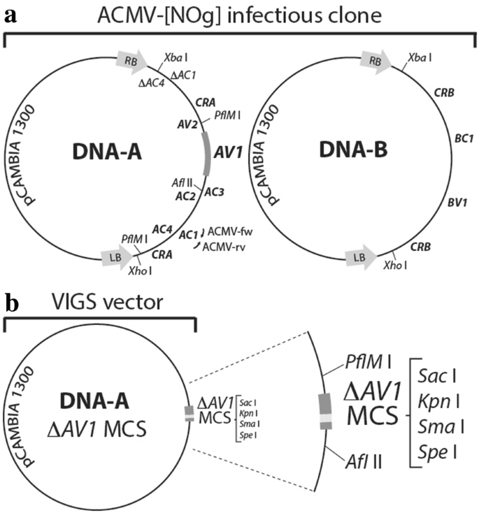 Cassava geminivirus agroclones for virus-induced gene