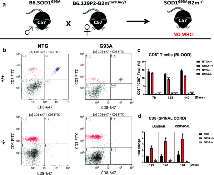 Counteracting roles of MHCI and CD8 + T cells in the