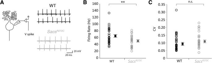 Sacs R272C missense homozygous mice develop an ataxia