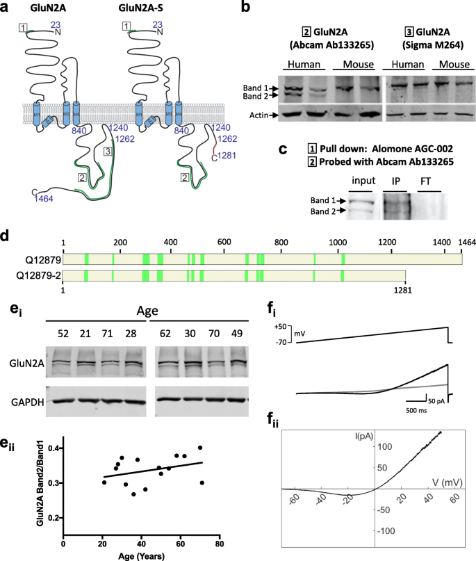 A Primate Specific Short Glun2a Nmda Receptor Isoform Is Expressed