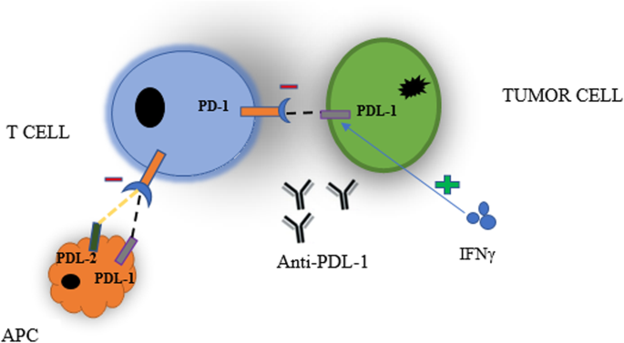 Immune Checkpoint Inhibitors Of Pd L1 As Cancer Therapeutics Journal Of Hematology Oncology Full Text