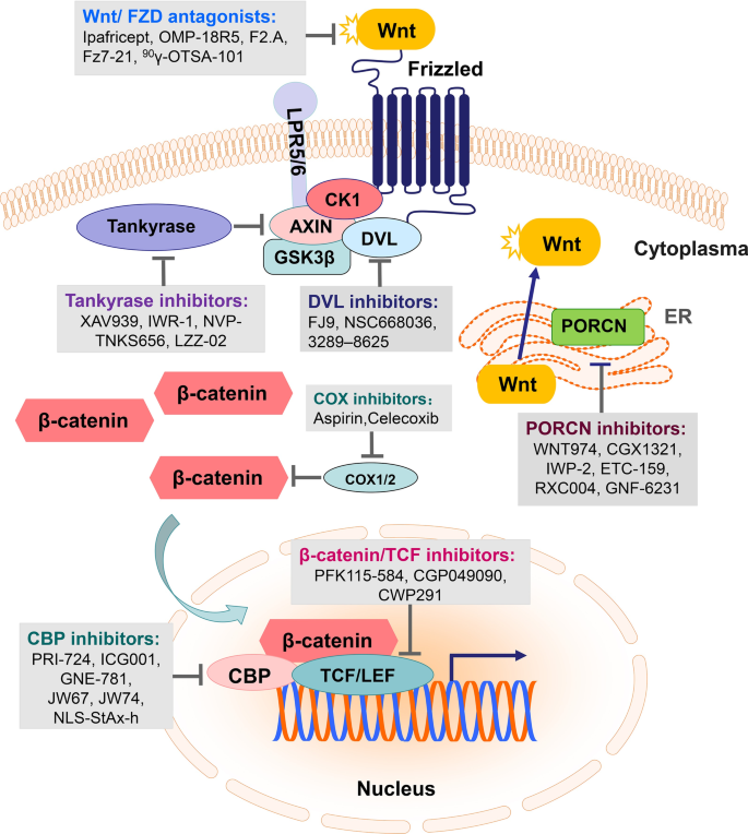 Targeting The Wnt B Catenin Signaling Pathway In Cancer Journal Of Hematology Oncology Full Text