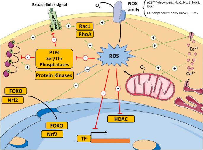 Reactive oxygen species in haematopoiesis: leukaemic cells