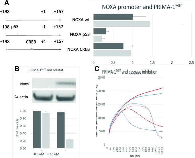 PRIMA-1 MET -induced neuroblastoma cell death is modulated