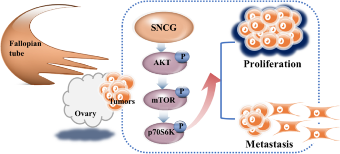 Sncg Promotes The Progression And Metastasis Of High Grade Serous Ovarian Cancer Via Targeting The Pi3k Akt Signaling Pathway Journal Of Experimental Clinical Cancer Research Full Text