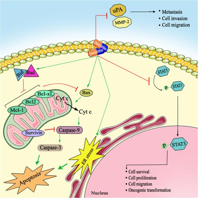 Quercetin A Natural Compound For Ovarian Cancer Treatment Springerlink