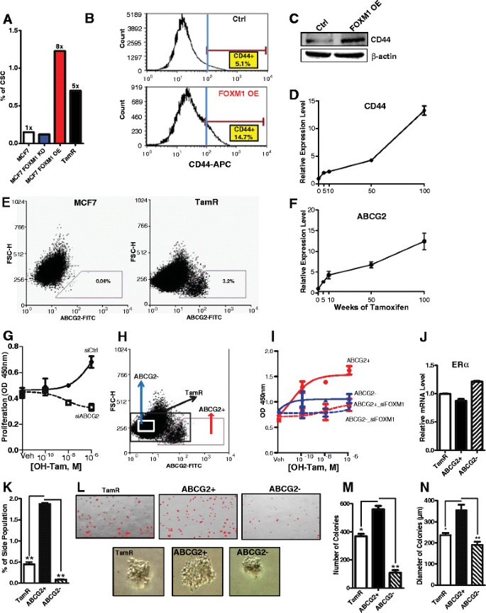 The forkhead transcription factor FOXM1 promotes endocrine