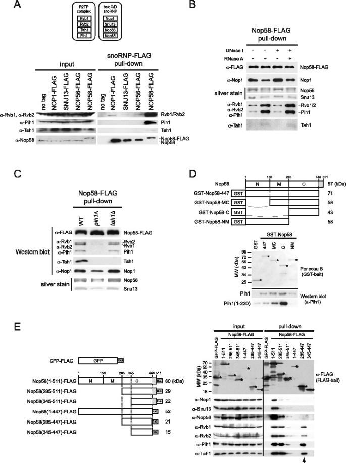c812de984d26 Nutritional status modulates box C/D snoRNP biogenesis by regulated ...