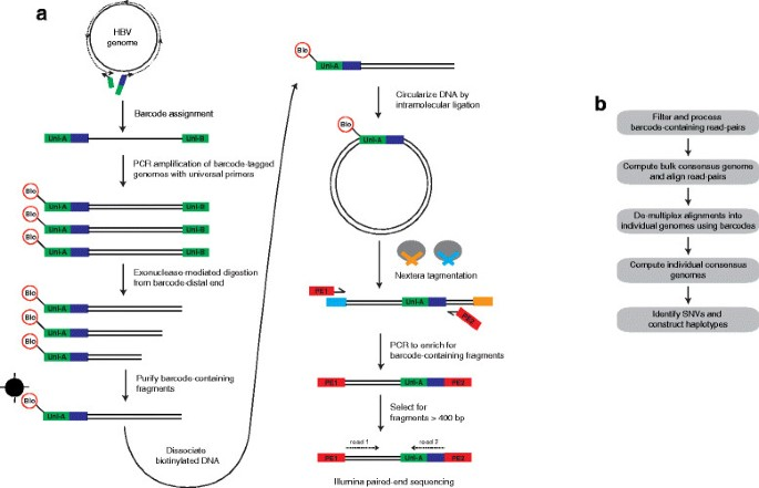 BAsE-Seq: a method for obtaining long viral haplotypes from