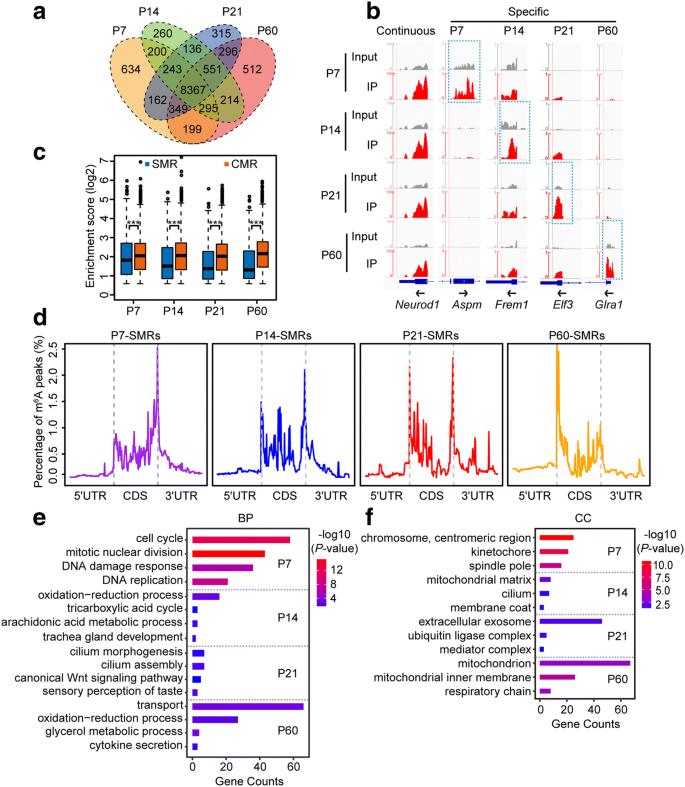 RNA m 6 A methylation participates in regulation of postnatal