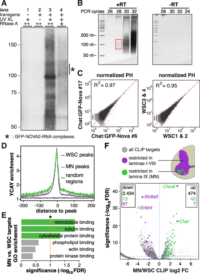 Cell type-specific CLIP reveals that NOVA regulates