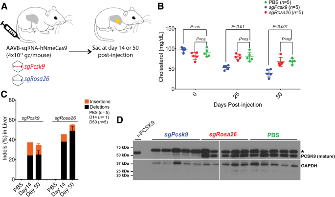 All-in-one adeno-associated virus delivery and genome editing by