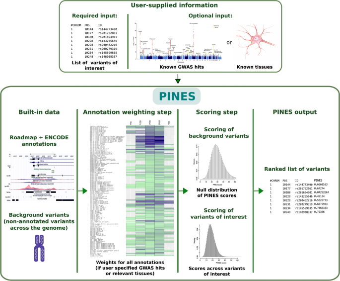 PINES: phenotype-informed tissue weighting improves