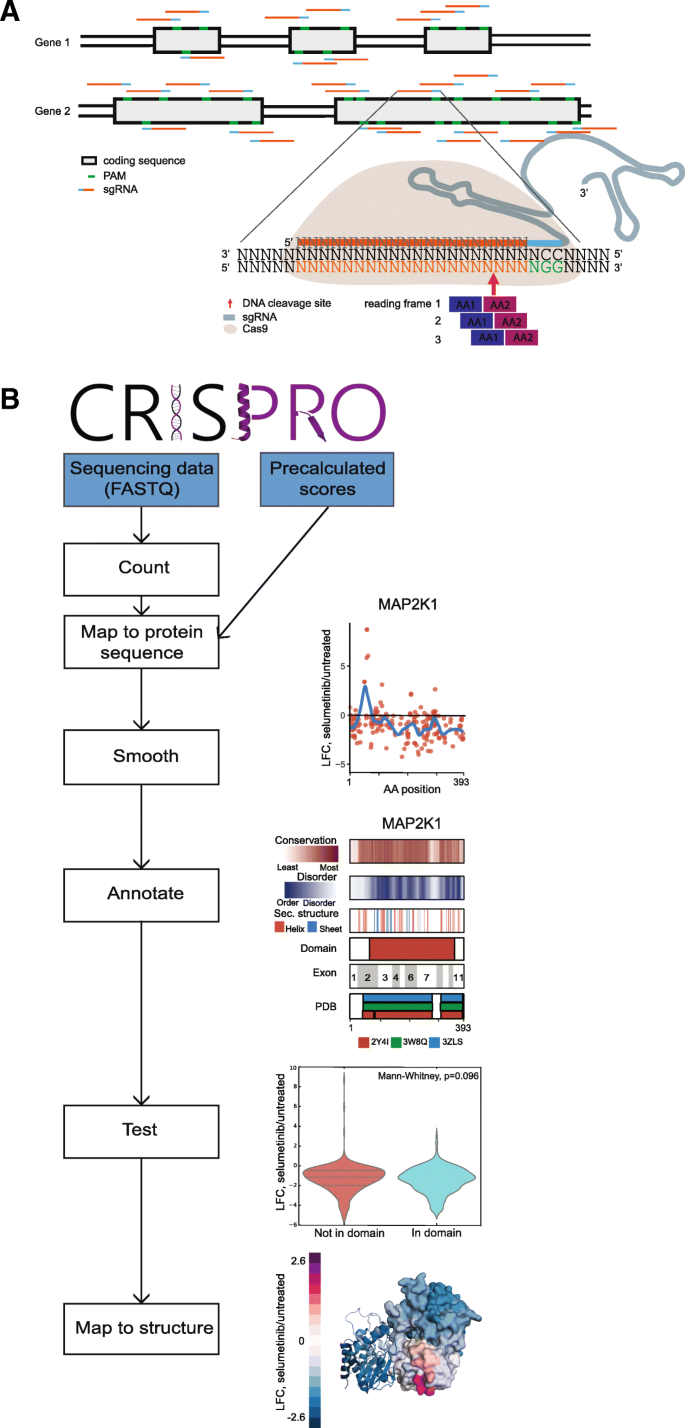 CRISPRO: identification of functional protein coding