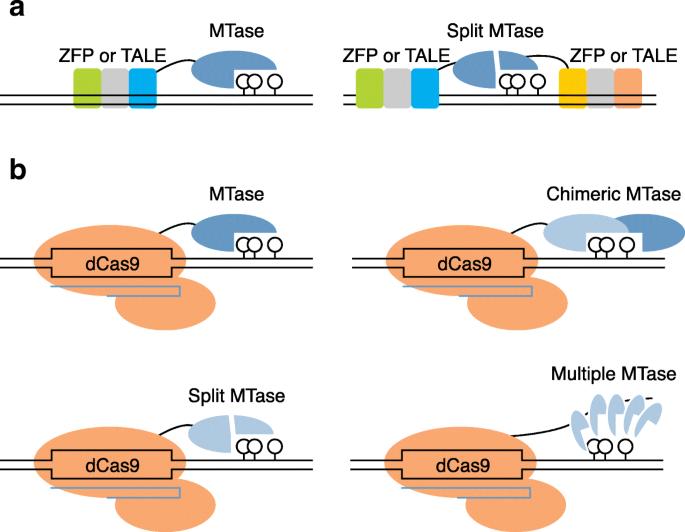 DNA methylation and de-methylation using hybrid site
