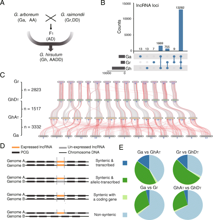 LncRNAs in polyploid cotton interspecific hybrids are derived from