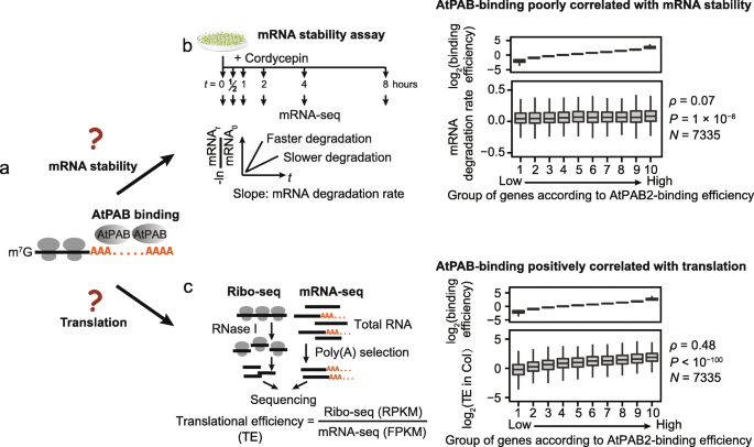 Impact of poly(A)-tail G-content on Arabidopsis PAB binding