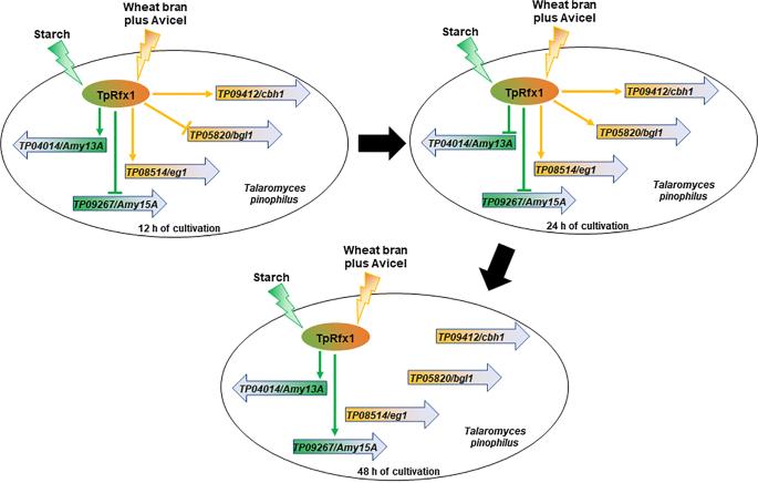 The transcription factor TpRfx1 is an essential regulator of amylase