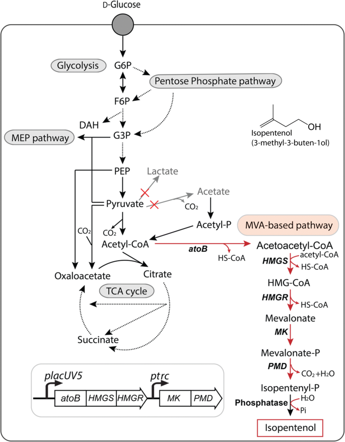 Engineering Corynebacterium glutamicum to produce the
