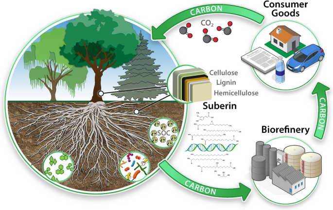 Importance of suberin biopolymer in plant function, contributions to soil  organic carbon and in the production of bio-derived energy and materials |  Biotechnology for Biofuels | Full Text