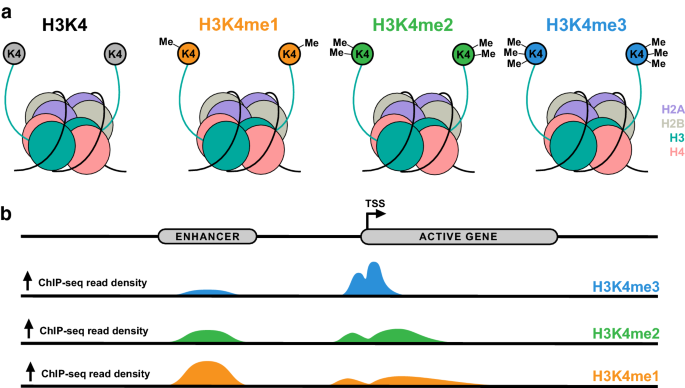 Histone H3 lysine K4 methylation and its role in learning and memory