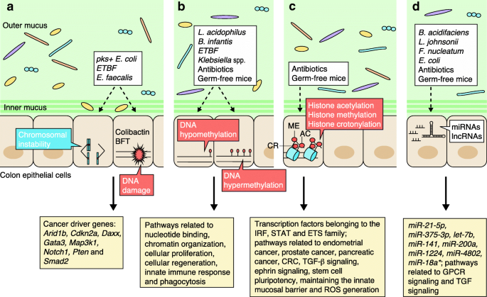 Impact Of The Gut Microbiome On The Genome And Epigenome Of Colon Epithelial Cells Contributions To Colorectal Cancer Development Genome Medicine Full Text