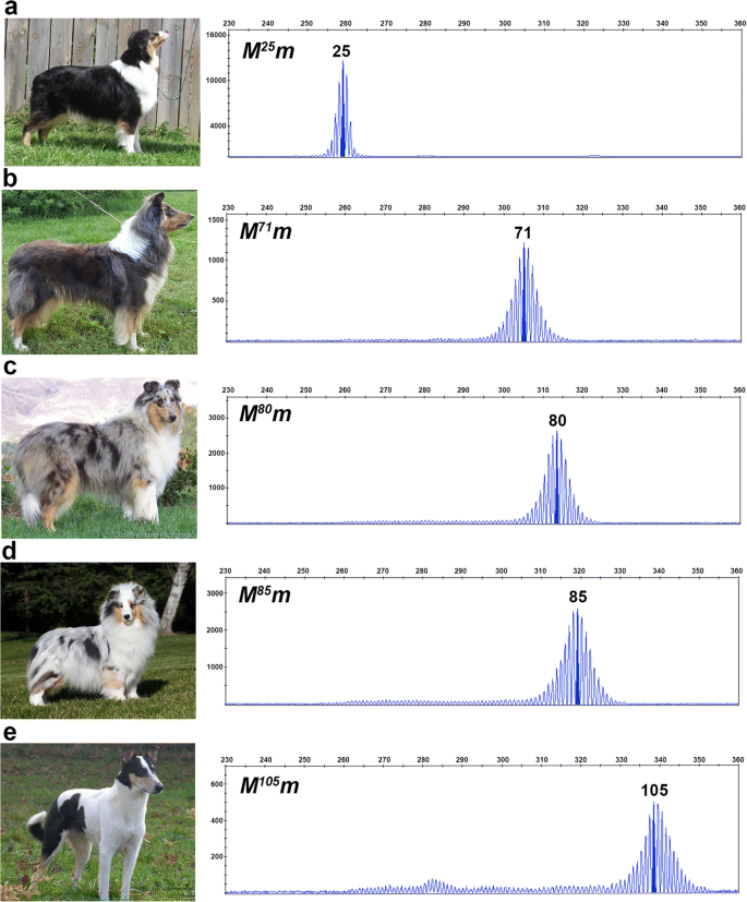 Length variations within the Merle retrotransposon of canine
