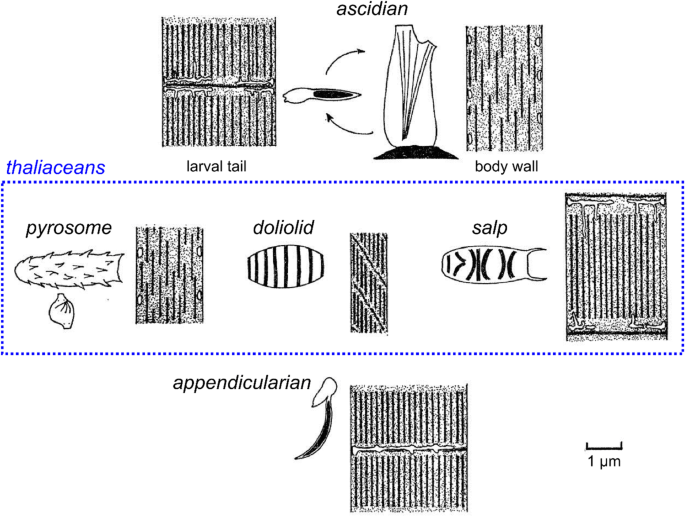 Regulation and evolution of muscle development in tunicates