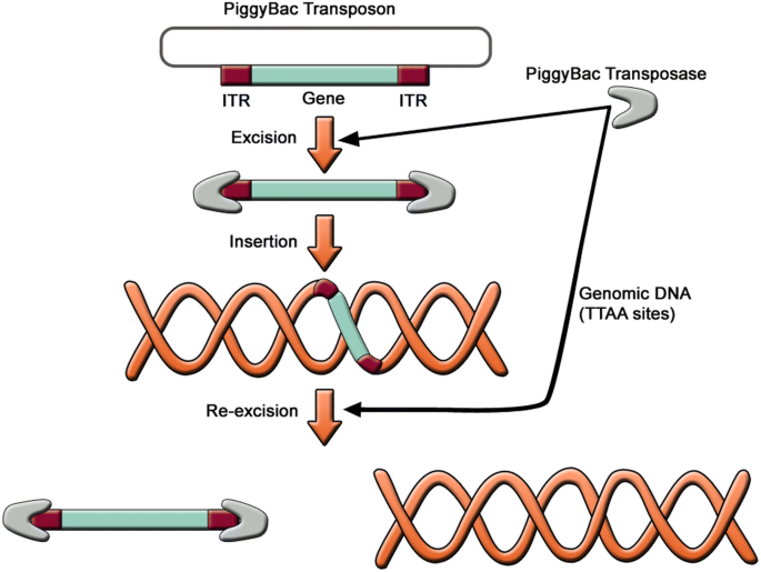 The march of pluripotent stem cells in cardiovascular regenerative