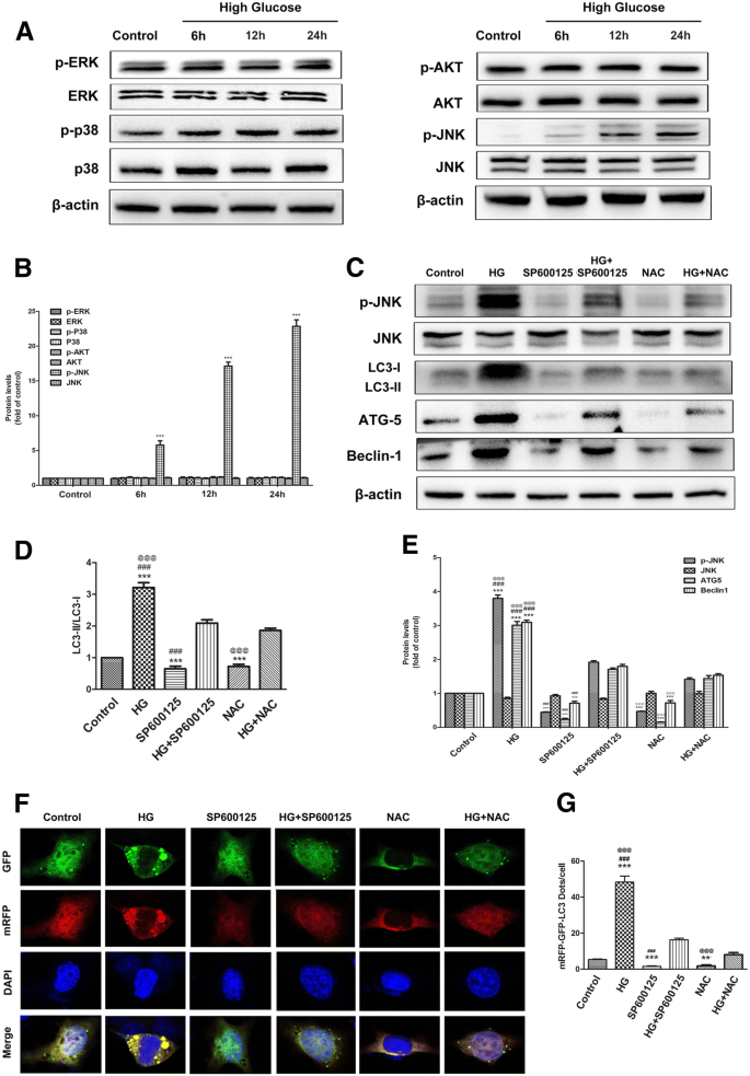 Inhibition of autophagy promoted high glucose/ROS-mediated