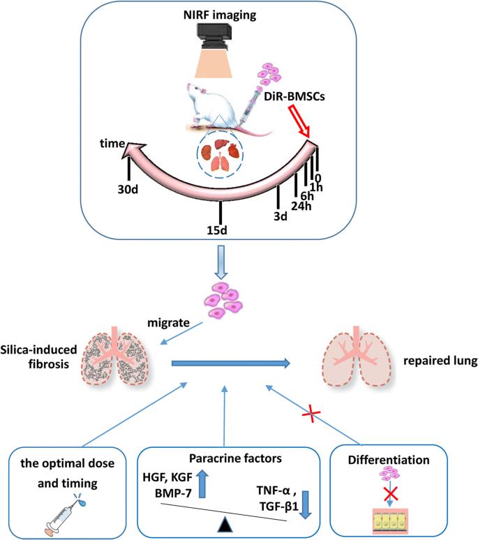 Targeted migration of bone marrow mesenchymal stem cells inhibits