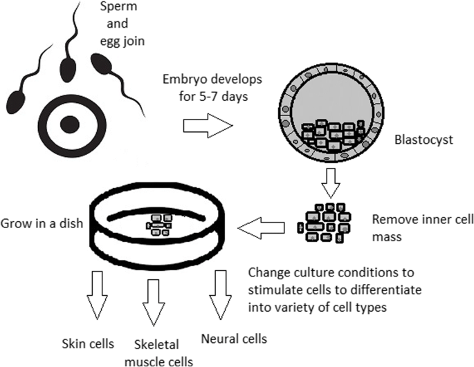 Stem cells: past, present, and future | Stem Cell Research