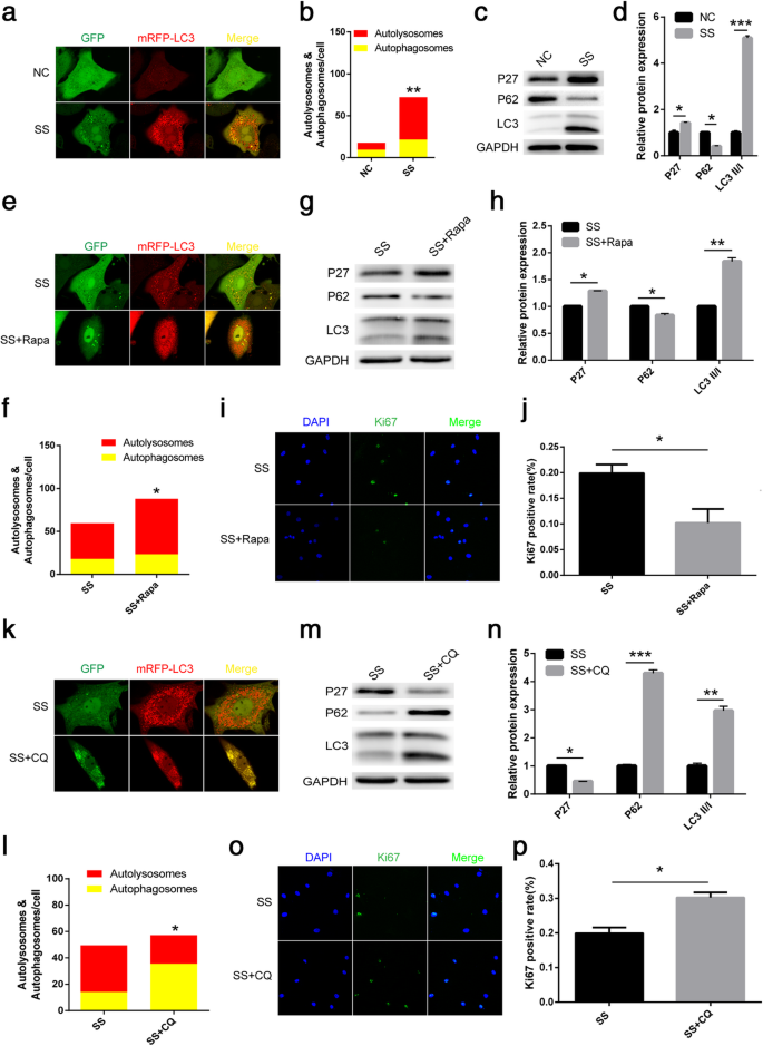 Autophagy mediates serum starvation-induced quiescence in nucleus