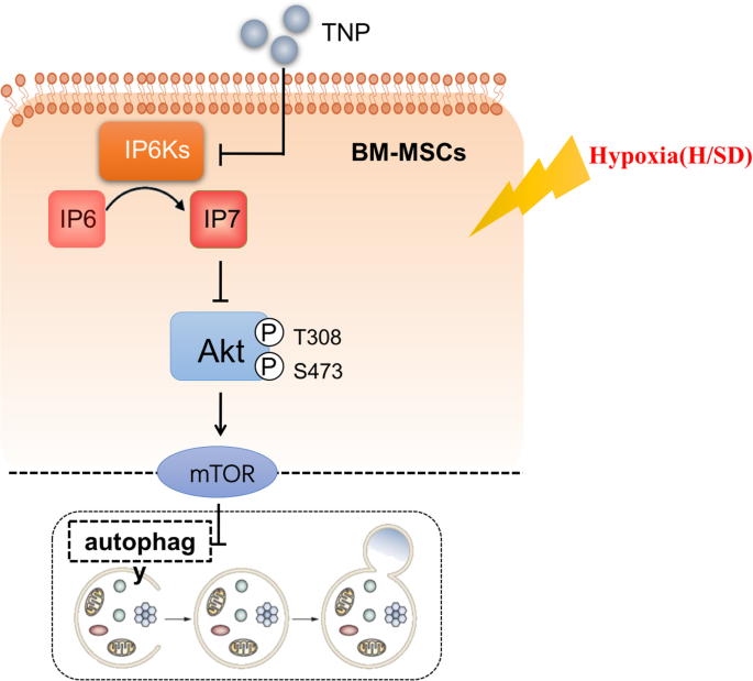 Inositol pyrophosphates mediated the apoptosis induced by