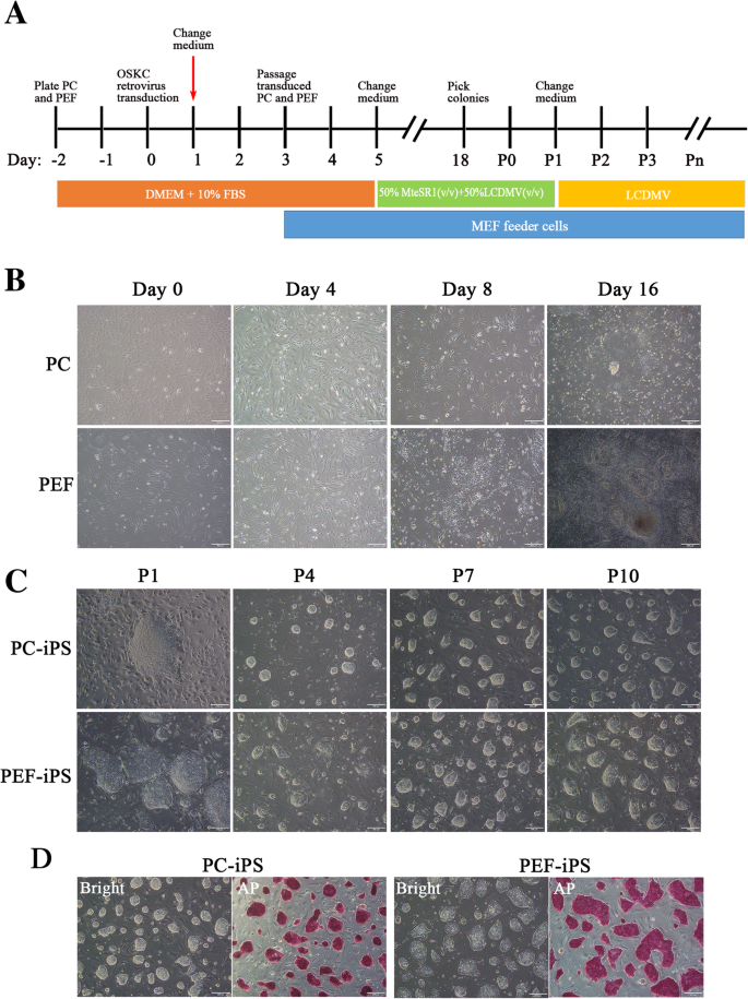 Generation of pig induced pluripotent stem cells using an extended