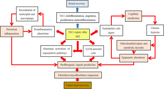 Current Understanding Of The Administration Of Mesenchymal Stem Cells In Acute Kidney Injury To Chronic Kidney Disease Transition A Review With A Focus On Preclinical Models Stem Cell Research Therapy